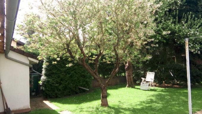 ドイツのチェリーの木